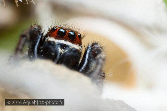 Pellenes tripunctatus mâle