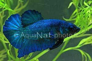 Betta splendens Blue Masked