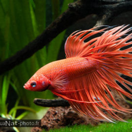 Betta splendens Crowntail Orange
