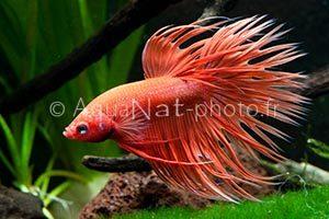 Betta splendens Crowntail Orange
