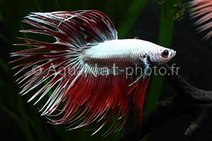 Betta splendens Crowntail Silver Red