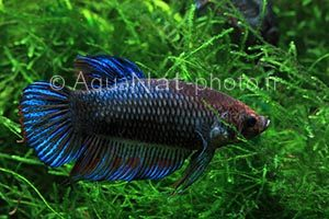 Betta splendens Giant Shorttail