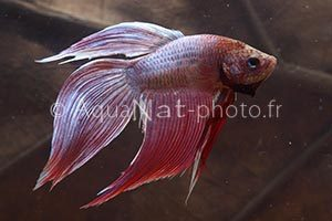 Betta splendens Rose