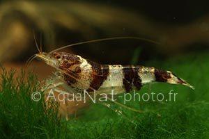 Paracaridina sp. Princess Bee 2