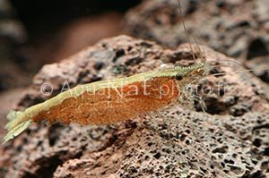 Caridina sp. orange