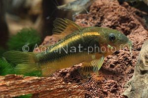 Corydoras gold green