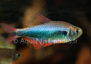 Hyphessobrycon_sp_redblue