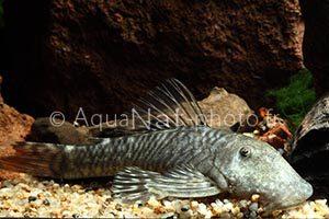 L455 Chaetostoma sp Tiger