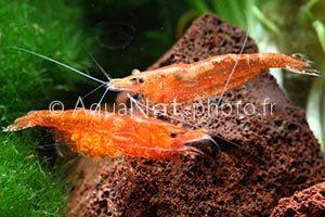 Neocaridina davidi Orange