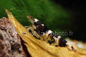 Paracaridina sp Princess Bee