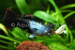Poecilia reticulata Artic Blue
