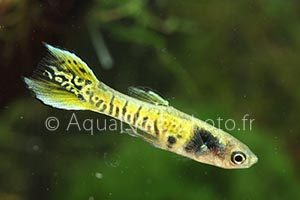 Poecilia wingei Yellow Leopard