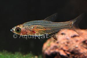 Sundadanio axelrodi Red