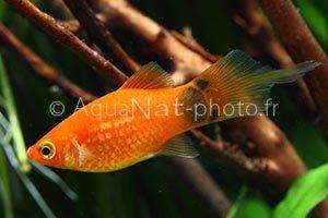 Xiphophorus maculatus Flame Orange