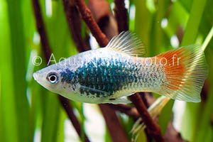 Xiphophorus maculatus Tuxedo Blue Red Tail
