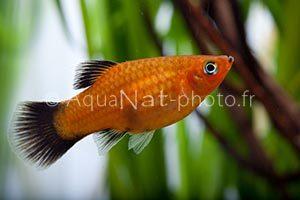 Xiphophorus maculatus Wagtail Orange