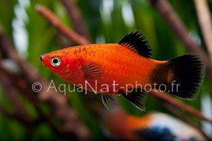 Xiphophorus maculatus Wagtail Red