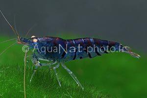 Caridina sp Tiger Deep Blue