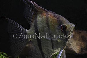 Pterophyllum scalare Red Back Manacapuru