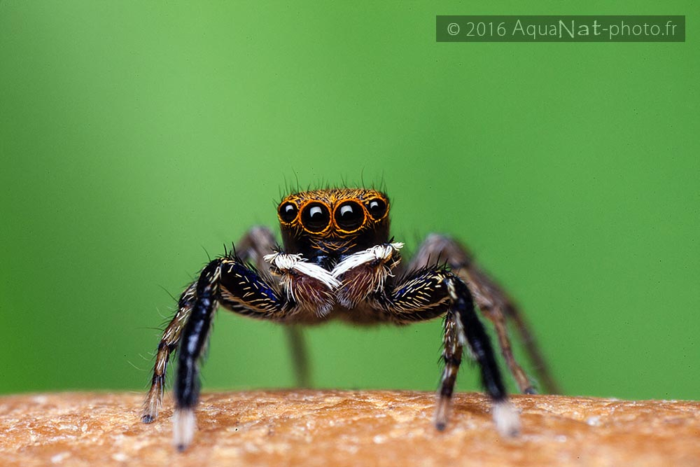 euophrys_frontalis