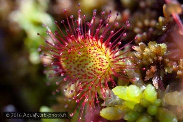 Drosera est une plante carnivore.