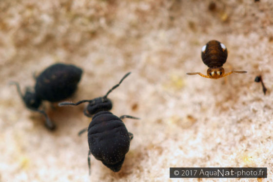 Sminthhurinus niger et Sminthurinus trinotatus