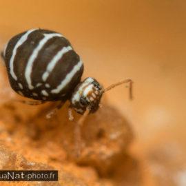 Fasciosminthurus quinquefasciatus