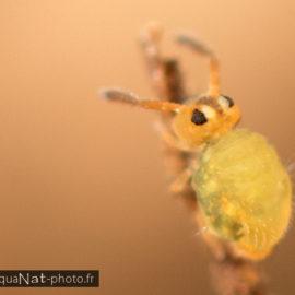 Sminthurinus aureus f. maculatus