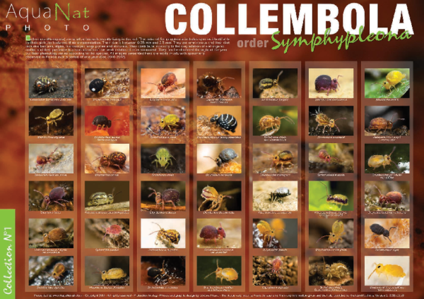Collection N°1 (Collembola) Symphypleona of France PICARD, 2018-ENG