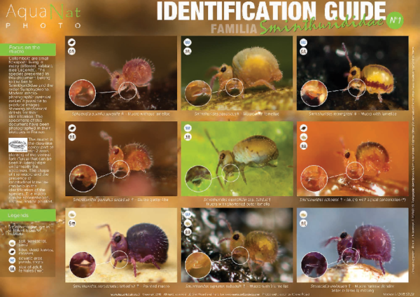 ID Guide Sminthurididae of the female Picard & Janssens 2018