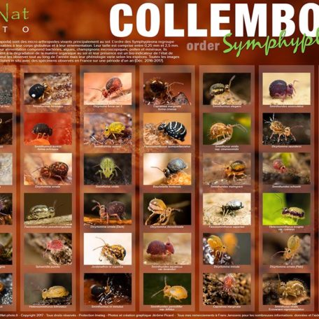 Collection N°1 (Collembola) Symphypleona of France PICARD, 2017