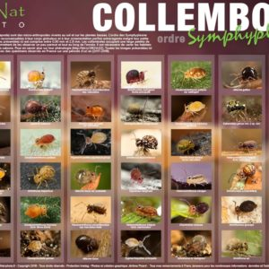 Poster Collemboles – Collection N°2 Format A1